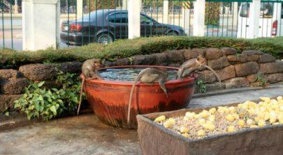 Lopburi City Monkeys